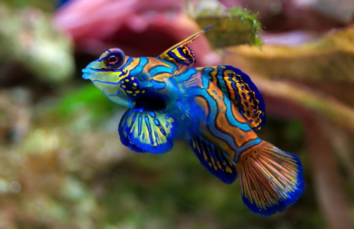Pterosynchiropus splendidus