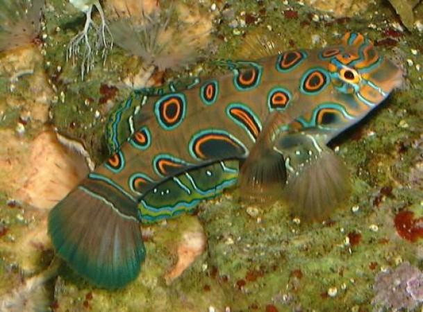 Pterosynchiropus picturatus
