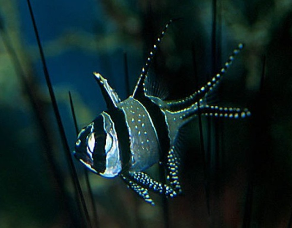 Pterapogon kauderni - tengeri hal