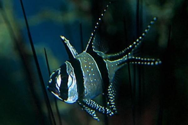 Kardinálishalak