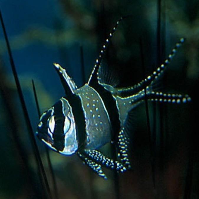 Kardinálishal