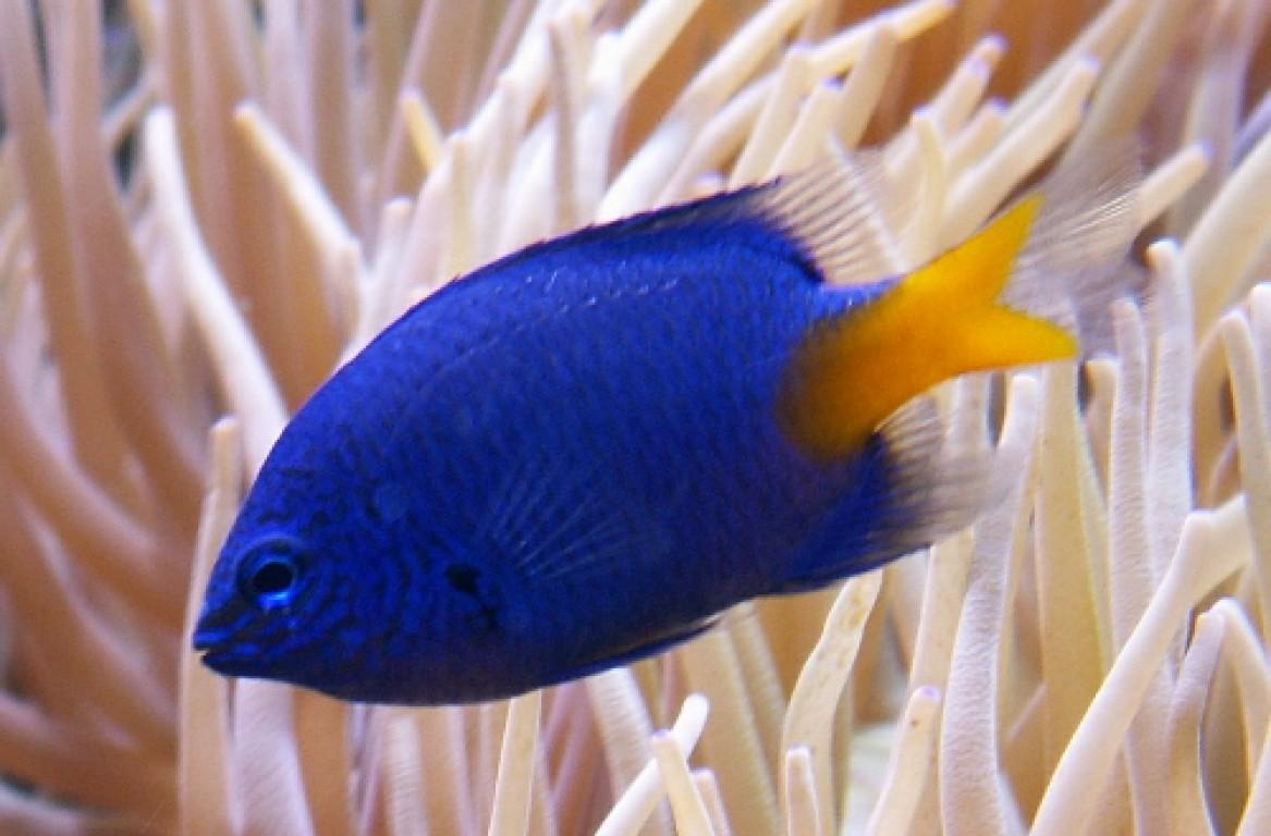 Chrysiptera parasema - tengeri hal