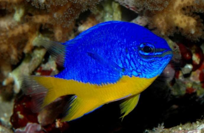 Chrysiptera hemicyanea - tengeri hal