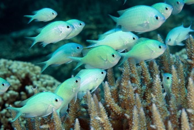 Chromis viridis - tengeri hal