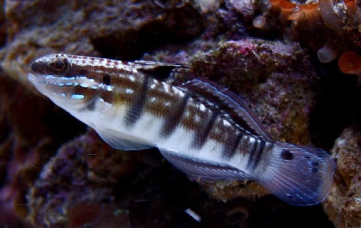 Amblygobius phalanea