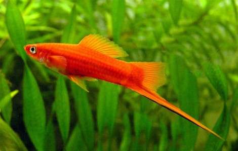 Xiphophorus helleri  /Mexikói kardfarkú hal/