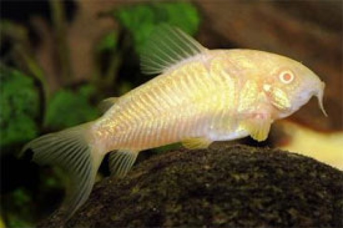 Corydoras aeneus /Albino páncélosharcsa/