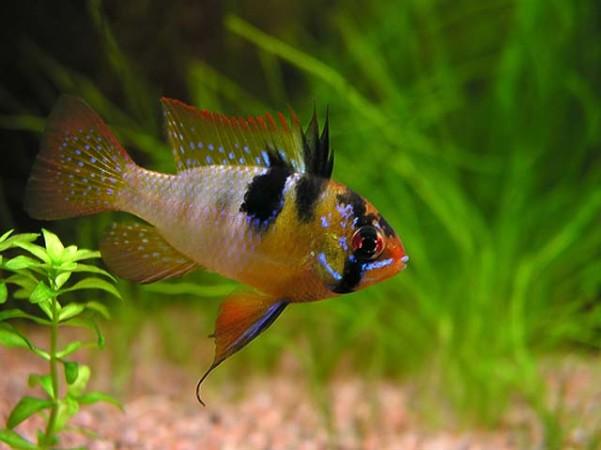 Mikrogeophagus ramirezi  /Pillangó törpesügér/