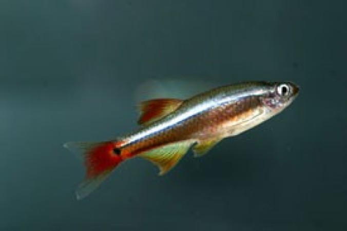 Tanichthys albonubes /Kolibrihal/