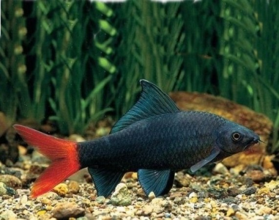 Epalzeorhynchos bicolor /Stendhal-hal/