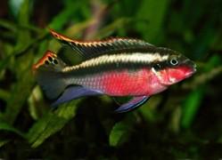 Pelvicachromis pulcher /Meggyhasú sügér/