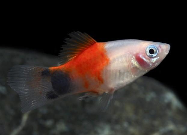 Xiphophorus maculatus  /Platti/