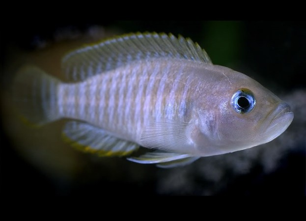 Neolamprologus multifasciatus /Sokcsíkú csigasügér/