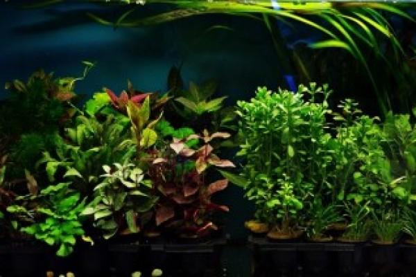 Édesvízi növények