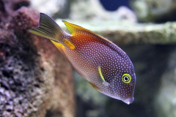 Ctenochaetus Truncatus