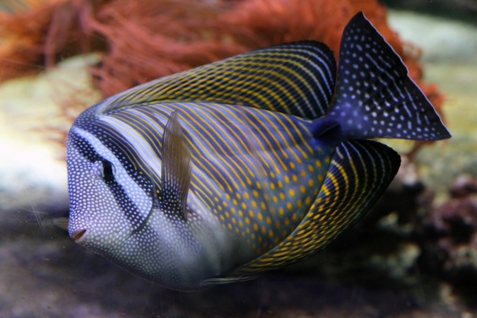 Zebrasoma Desjardinii
