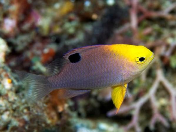 Chrysiptera talboti - tengeri hal