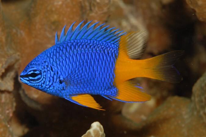 Chrysiptera arnazae - tengeri hal