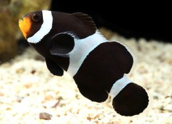 Amphiprion ocellaris Black Darwini