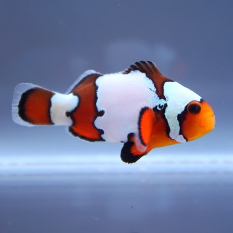Amphiprion ocellaris Black Ice Snowflakes