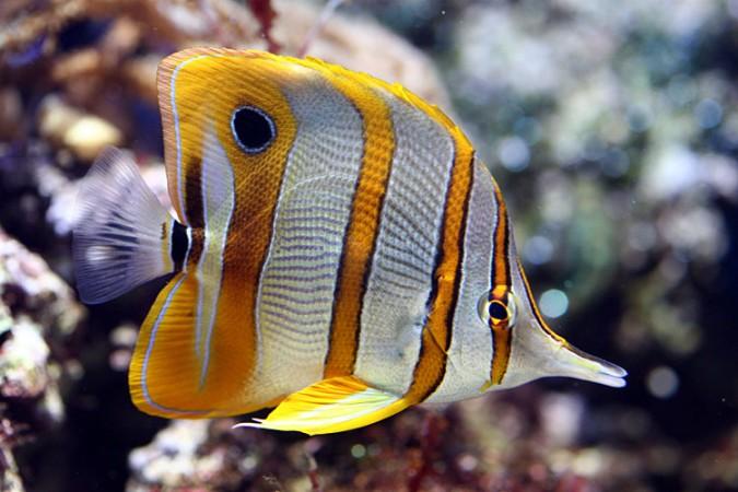 Chelmon Rostratus - tengeri hal