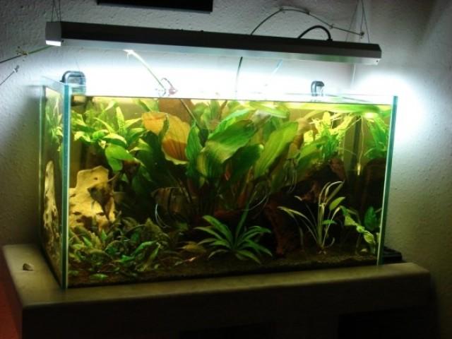 Édesvizis 180 literes akvárium vitorláshalakkal.