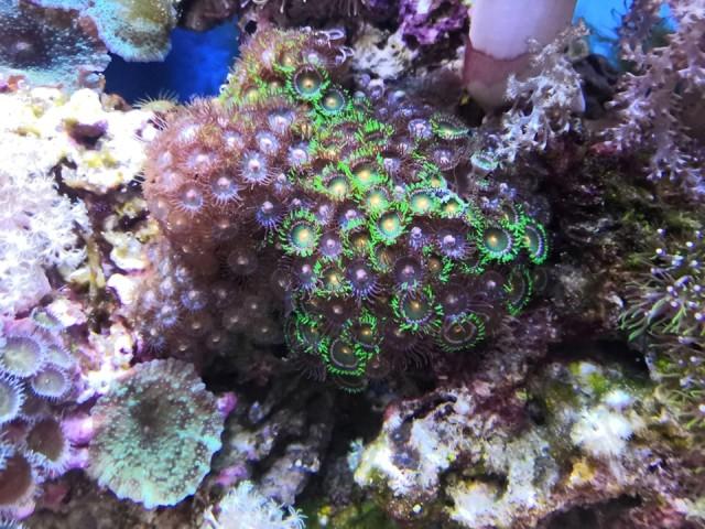 100 literes lágykorallos akvárium