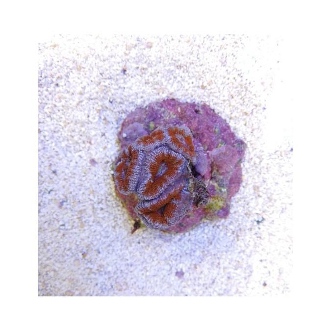 LPS korall