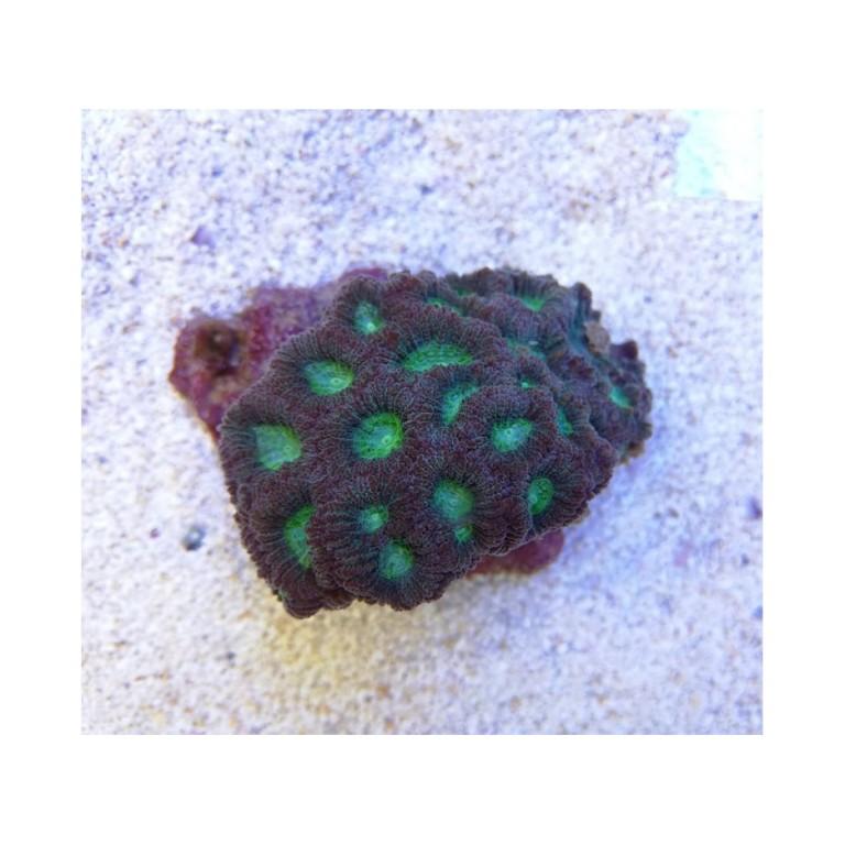 Favites sp. Green