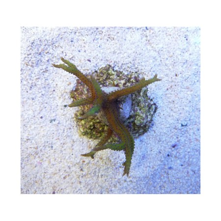 Seriatopora hystrix green
