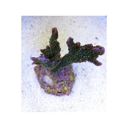 Montipora stellata