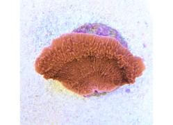 Motipora laminar red sp.