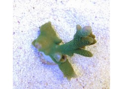 Montipora sp. - Branched Green