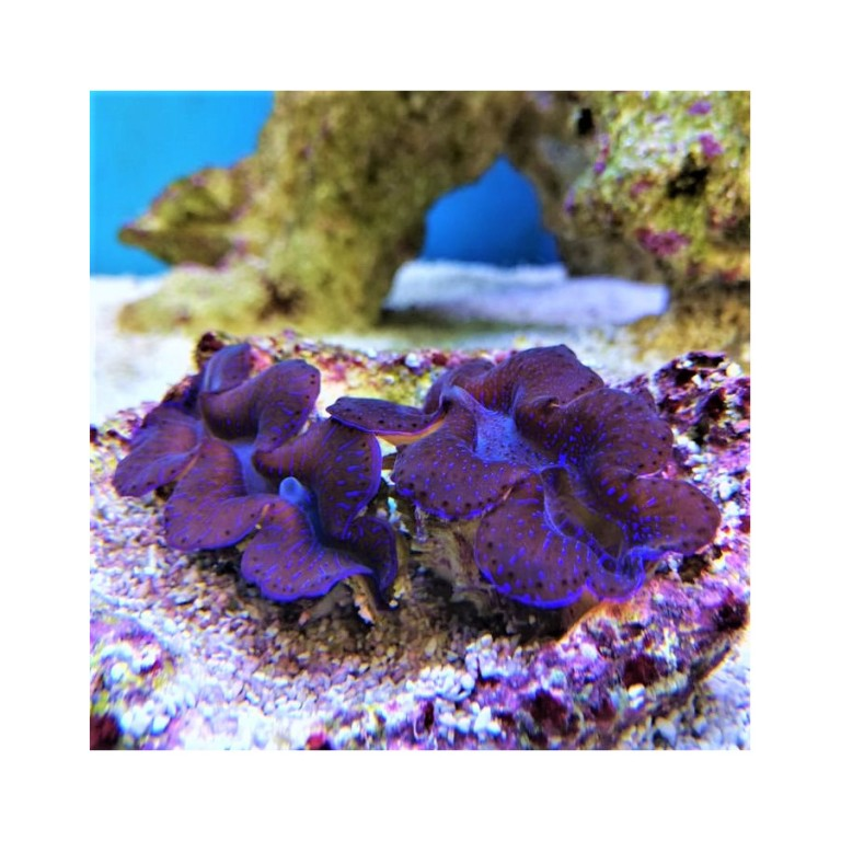 Tridacna maxima blue 4-5 cm
