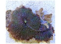 Rhodactis multicolor