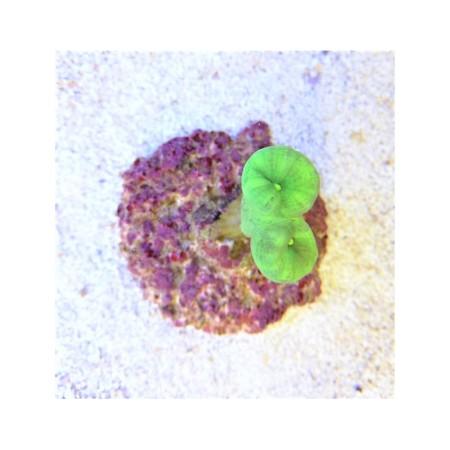Caulastrea curvata