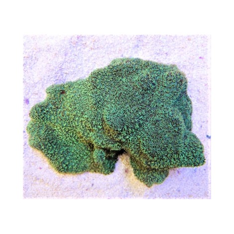 Pavona cactus sp. green