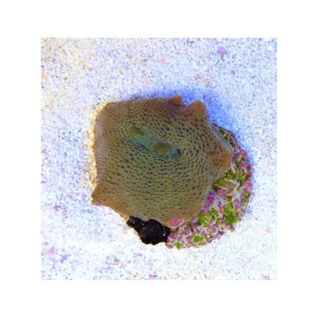 Discosoma punctatus green