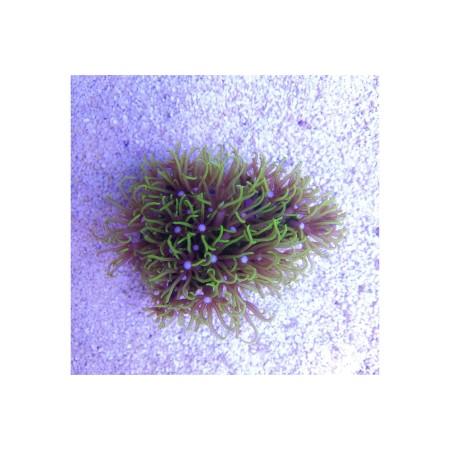 Briareum sp. (Green Grade A)