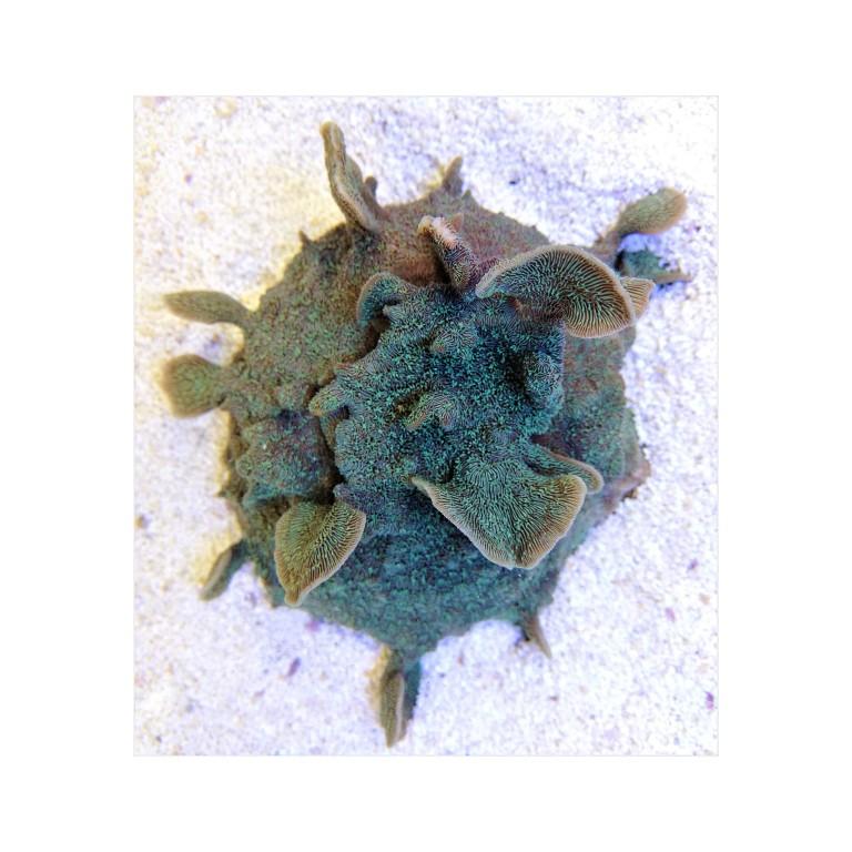 Pavona cactus green