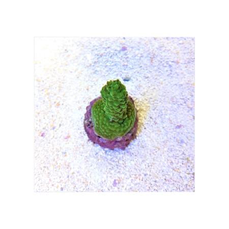 Acropora formosa ultra green