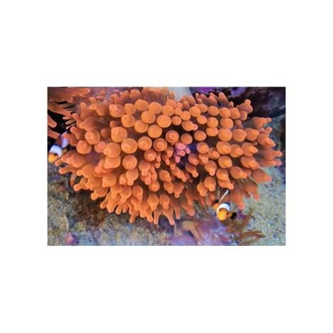 """Entacmaea quadricolor """"super red"""""""