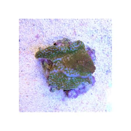 Montipora superman Tonga green Polyps
