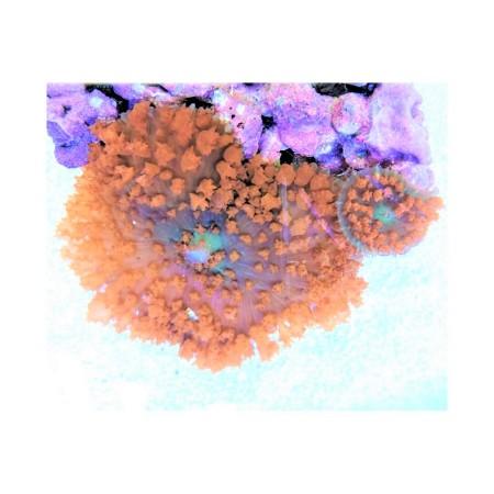 Rhodactis osculifera red