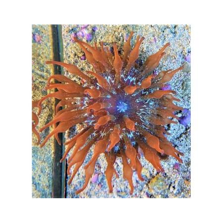 Entacmaea quadricolor ultra color
