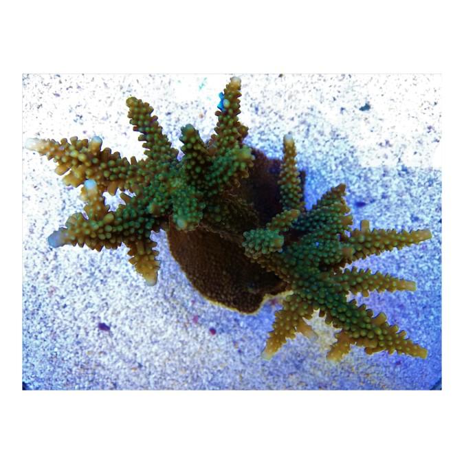 SPS korall