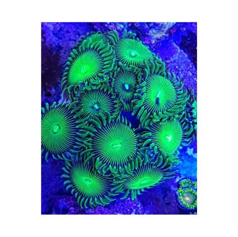 Zoanthus Ultra Green