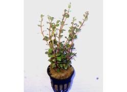 Rotala rutondifolia